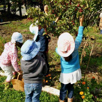 姫リンゴを収穫