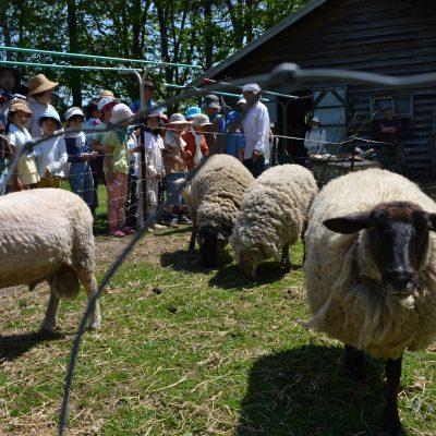 羊の毛刈り1