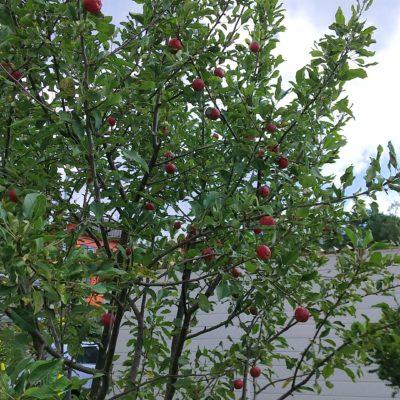 園りんごの木